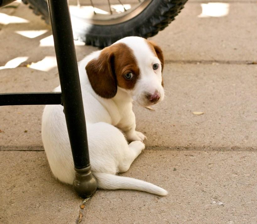dachshund puppy piebald