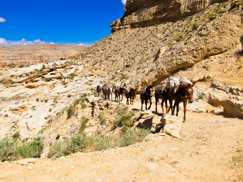 Grand Canyon mules
