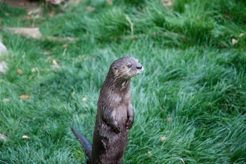 Otter standing Phoenix Zoo-2