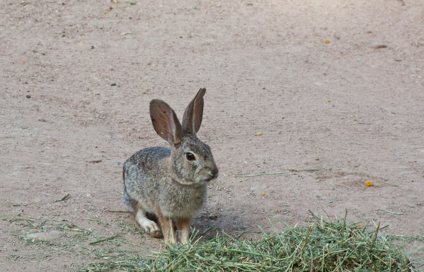 wild rabbit Phoenix Zoo-4